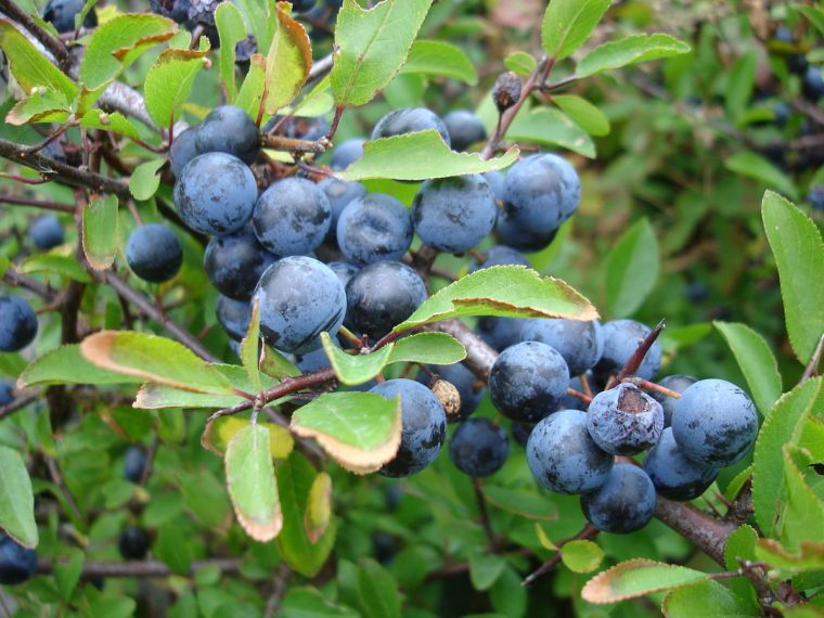 sloes2